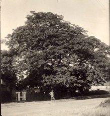 Rustenburg Seringboom